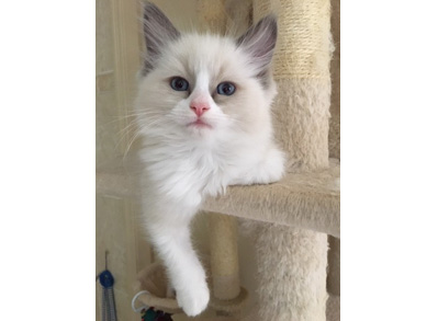 Ragdoll Kitten - Blue Bi-Colour