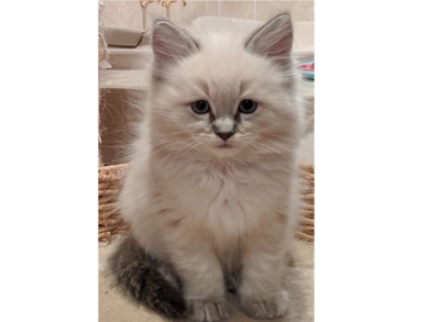 Ragdoll Kitten - Blue Lynx Point