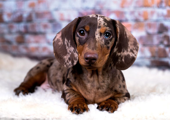 Double Dapple Dachshund Puppy - Colours and health in dogs