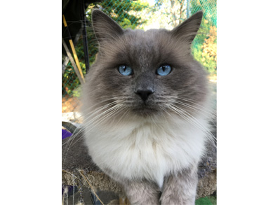 "Ragdoll Cat - Blue Point Male - ""Grayson"""