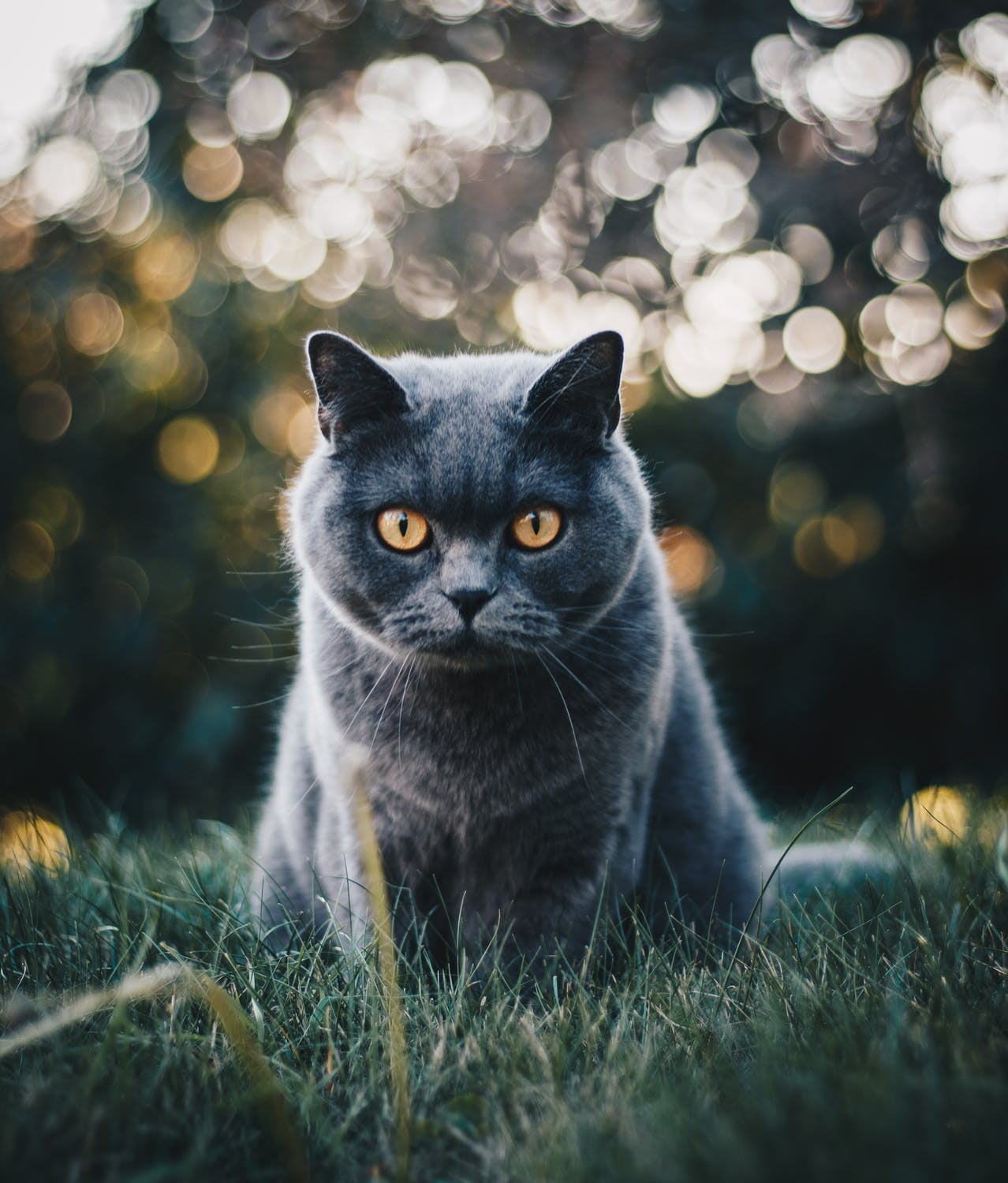British Shorthair Cat - Photo : Kirsten Bühne gallery image