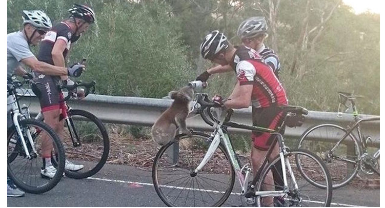 thirsty koala gets help from cyclists