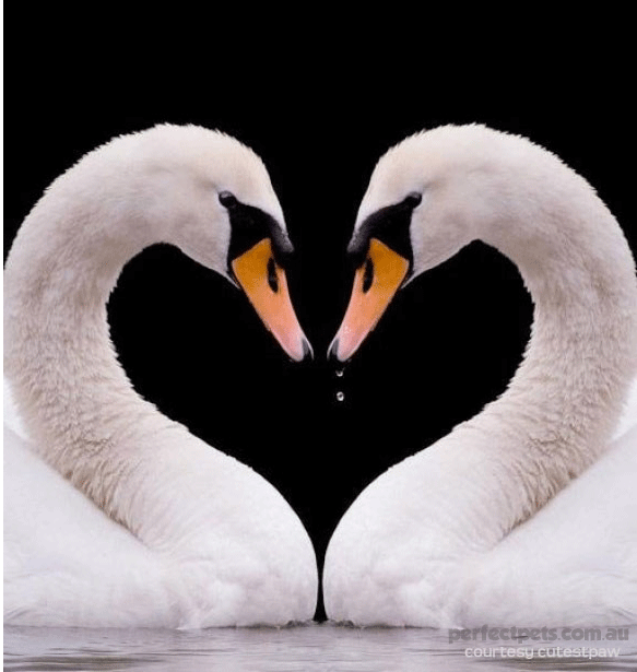 animals in love - swans