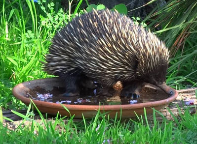Echidna-drinking-from-water-bowl