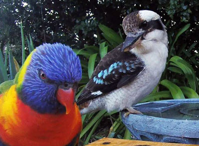 Kookaburra and Rainbow Lorikeet drinking