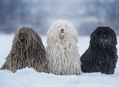 Puli - Low Shed Dogs
