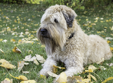 Soft Coated Wheaten Terrier - Non shedding dog breeds