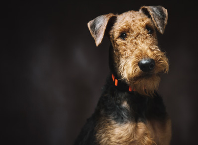 Airedale Terrier - low shed hypoallergenic dog breeds