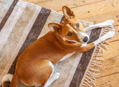 Basenji - low shed dogs