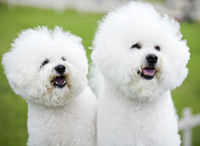 Bichon Frise - Low shedding dog breed