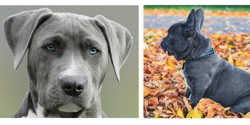Weimaraner and Blue French Bulldog Puppy