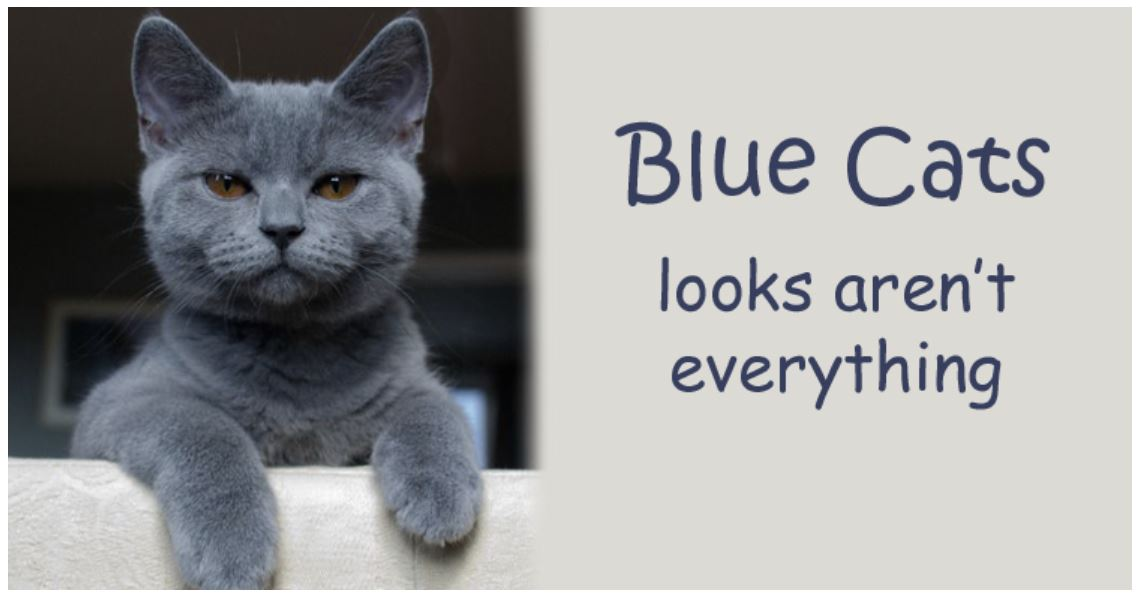 Blue Cats - British Shorthair, Russian, Burmese or Korat?