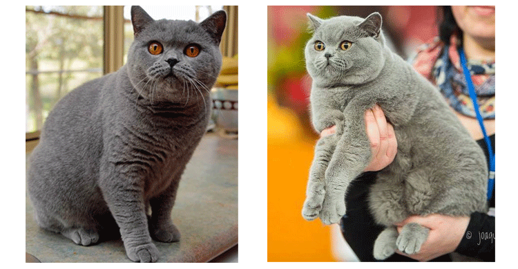 British Shorthair, British Blue Cat