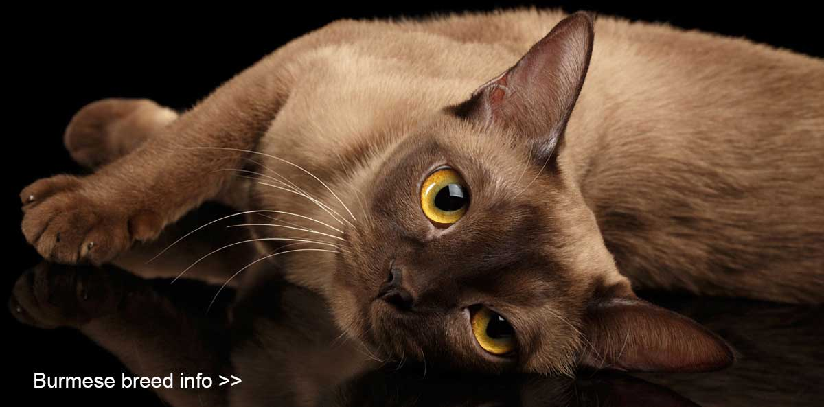 Burmese Cat Breed info & Burmese Cat Breeders