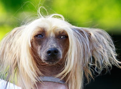 Chinese Crested Dog - non shedding dogs