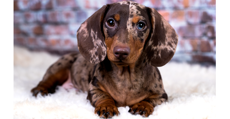 Double Dapple Dachshund Puppy