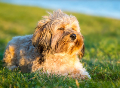 Havanese - Non Shedding Dogs