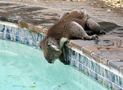koala-drinking-from-pool