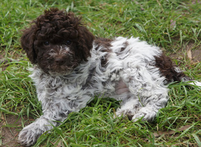 Lagotto Romagnolo Puppy - Low shed dogs