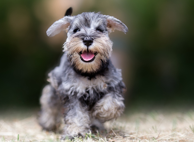 Miniature Schnauzer - non shedding dogs
