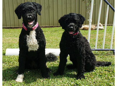 Portuguese Water Dogs - Low Shed Dogs