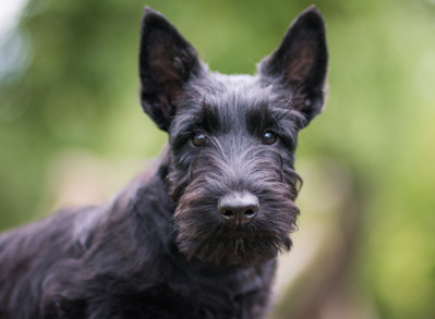 Scottish Terrier - low shed dogs - perfect pets