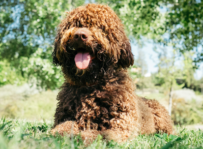 Spanish Water Dog - Non Shedding Dogs