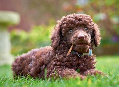 Toy Poodle - Low Shedding dogs