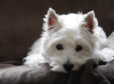 West Highland White Terrier - Low Shed Dogs