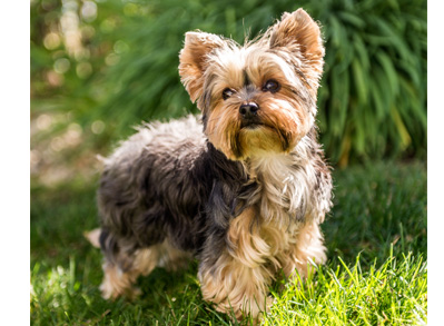 Yorkshire Terrier - low shedding dogs