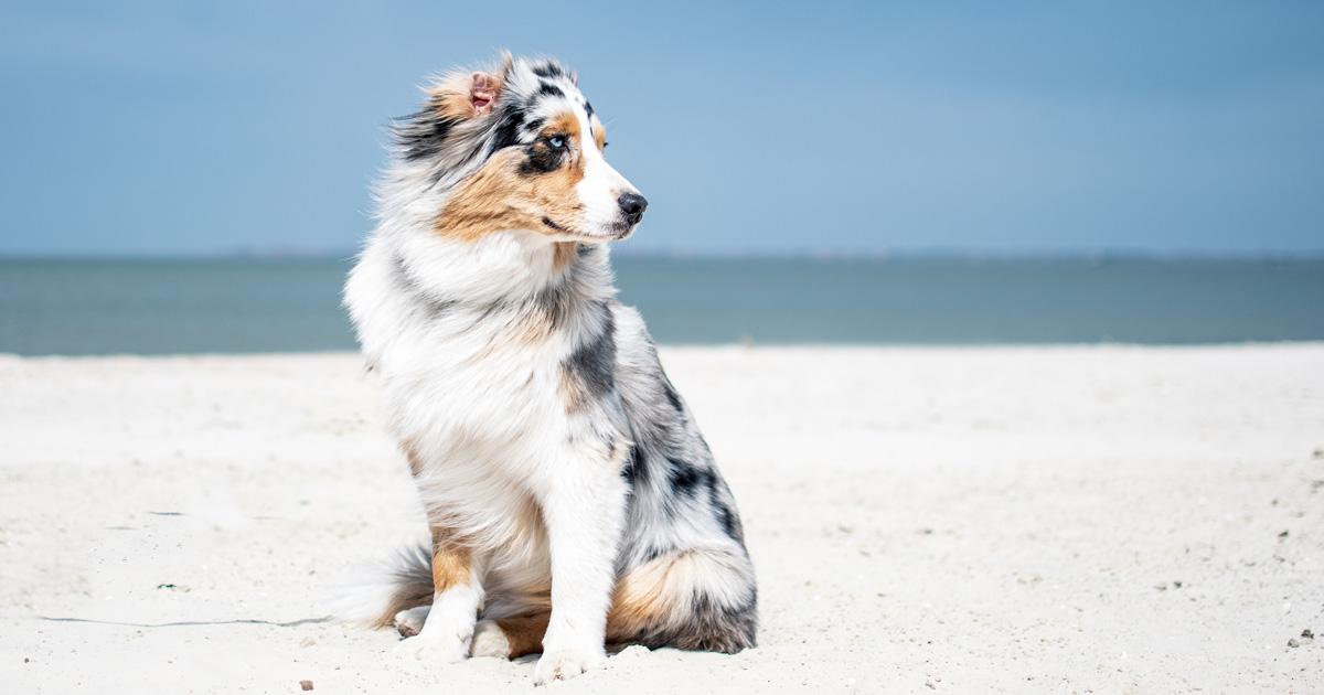 Australian Shepherd Breeders Australia | Australian Shepherd Info & puppies