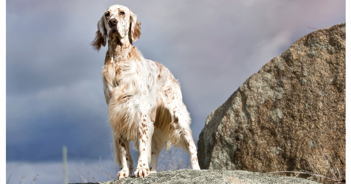 English Setter gallery image
