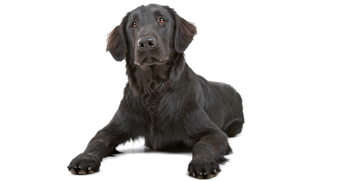 Flat-Coated Retriever gallery image