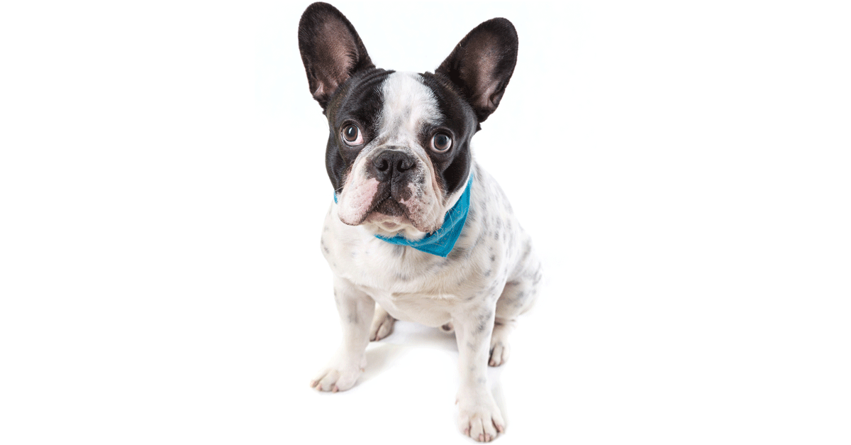 French Bulldog Breeders Australia French Bulldog Info