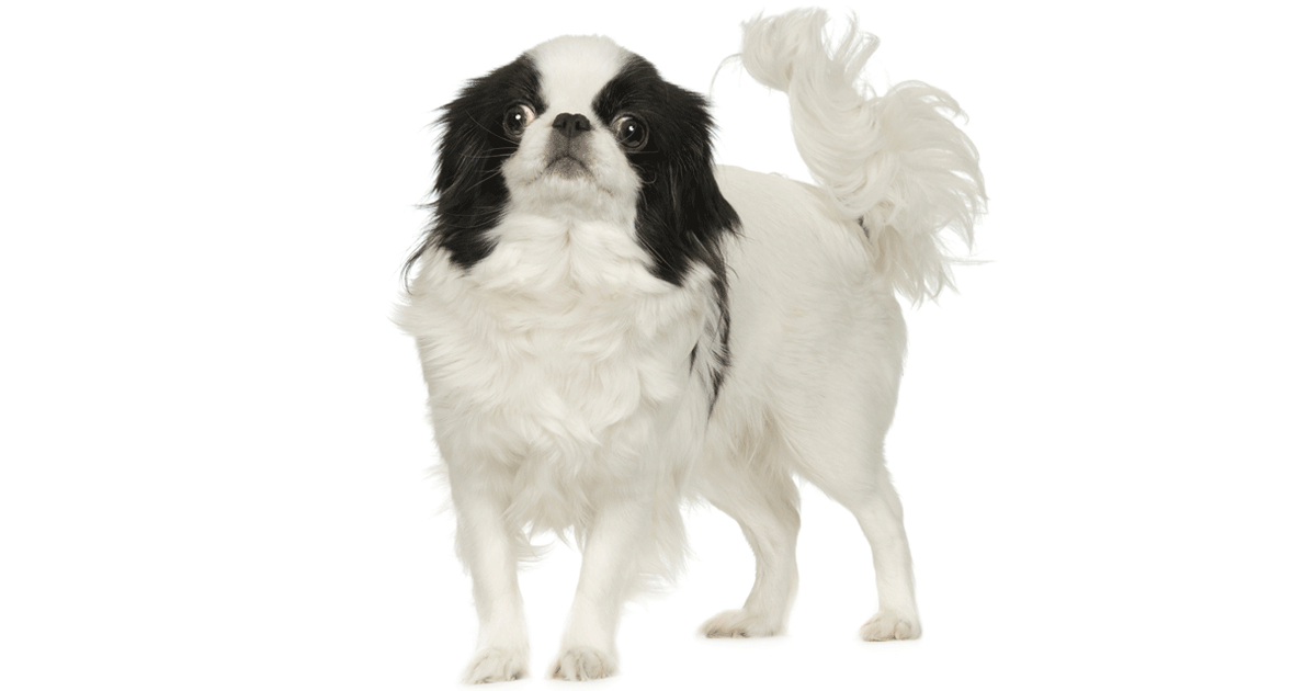 Japanese Chin gallery image