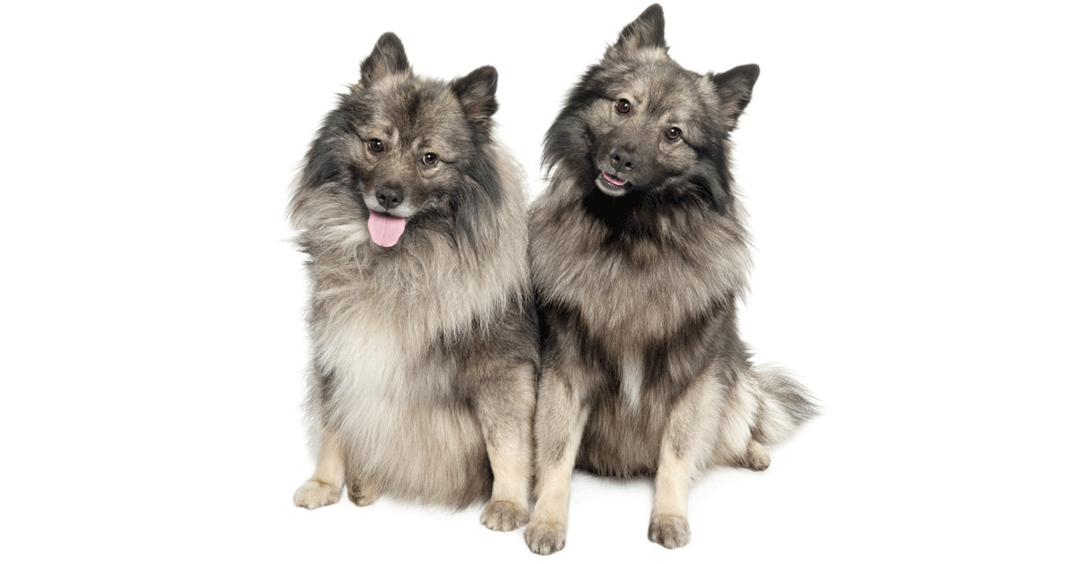 Keeshond gallery image