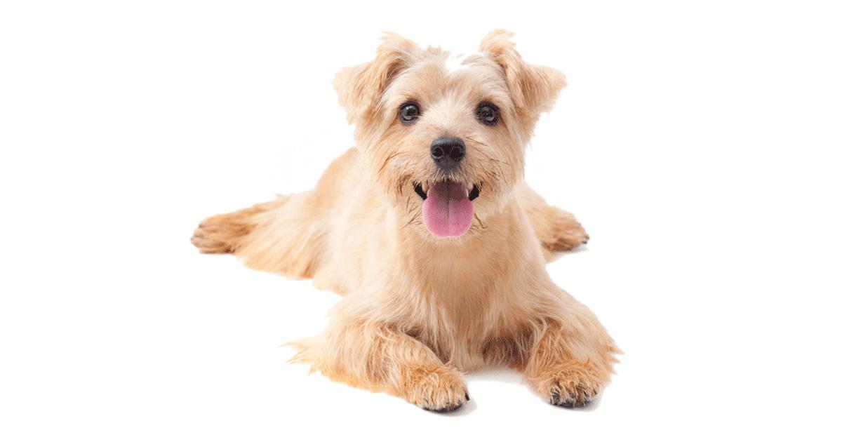 Norfolk Terrier Breeders Australia | Norfolk Terrier Info ...