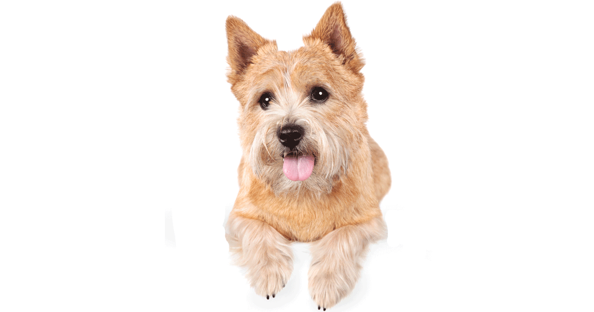Norwich Terrier gallery image