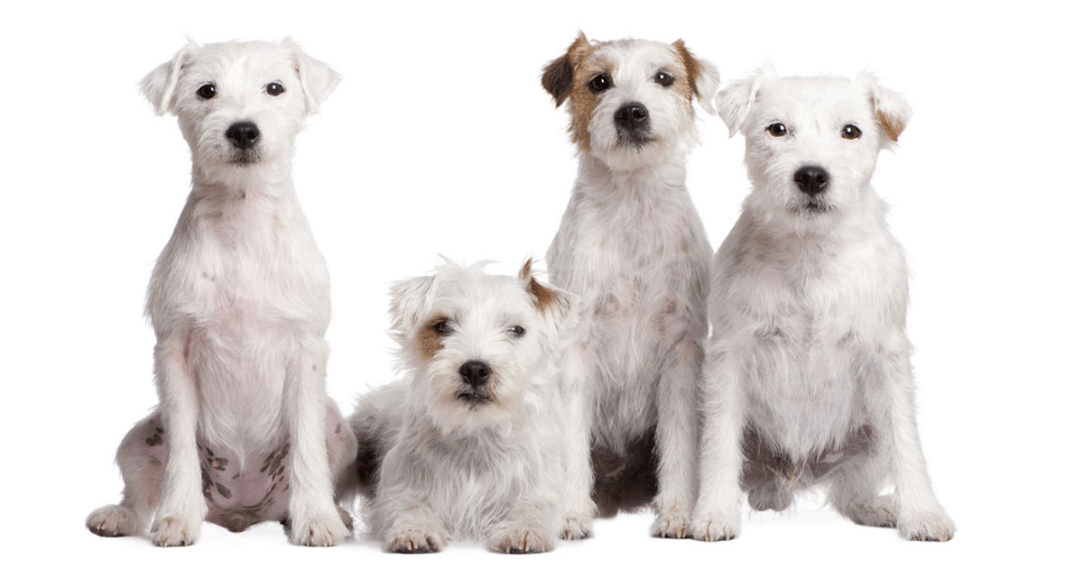 Parson Russell Terriers