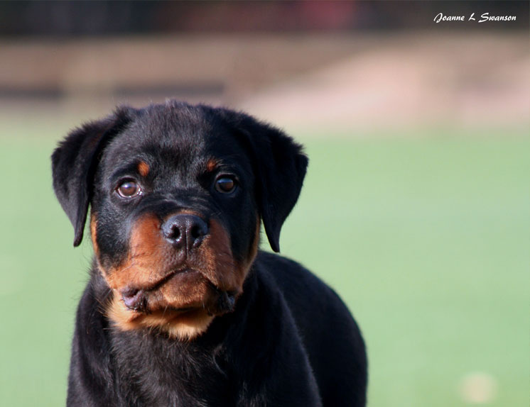 Dogs Rottweiler - main image