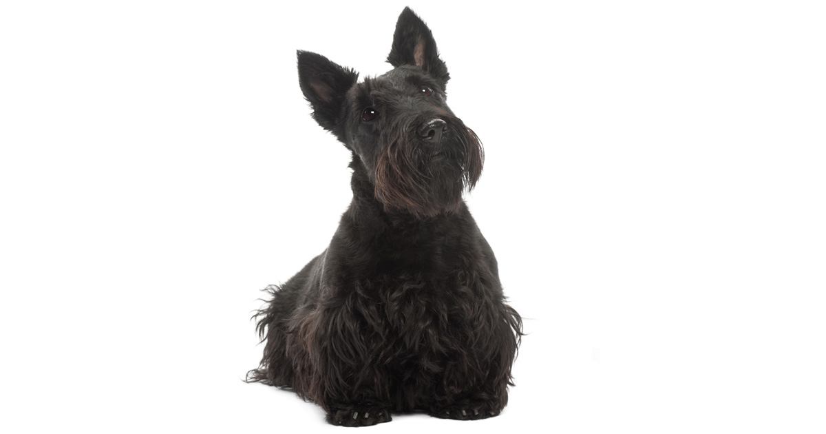 Scottish Terrier gallery image