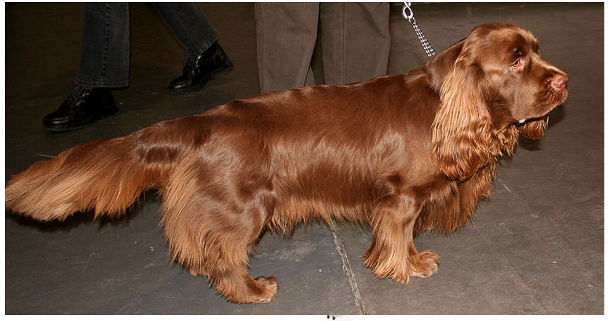 Sussex Spaniel gallery image