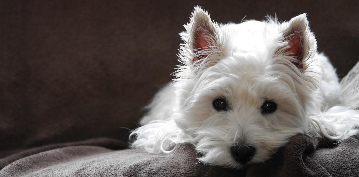 West Highland White Terrier Breeders Australia West Highland White Terrier Info Puppies