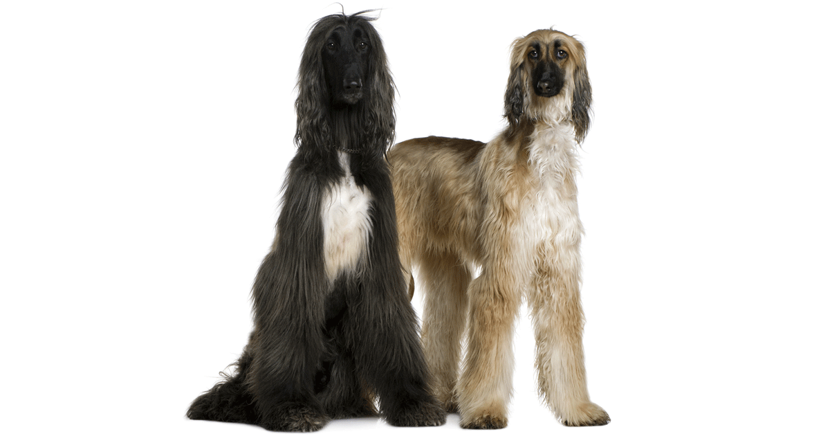 Afghan hounds gallery image