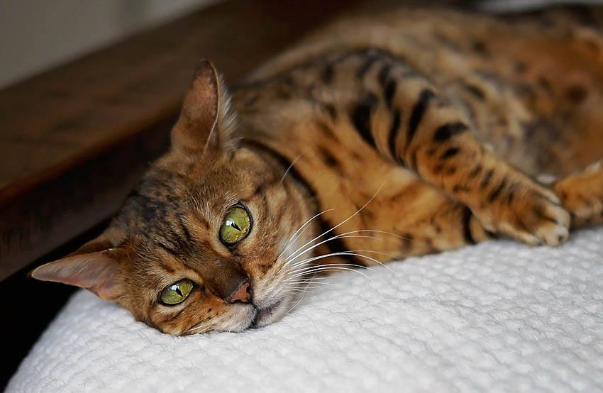 Bengal Cat gallery image
