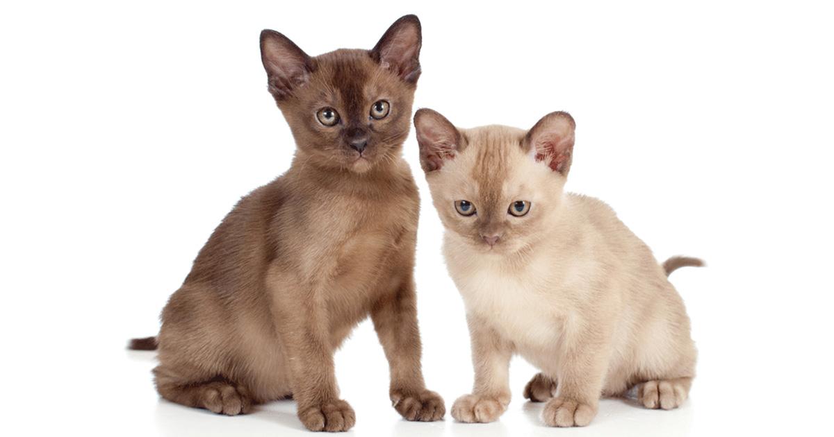 Burmese Breeders Australia Burmese Info Kittens