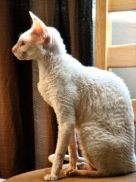 Cornish Rex gallery image