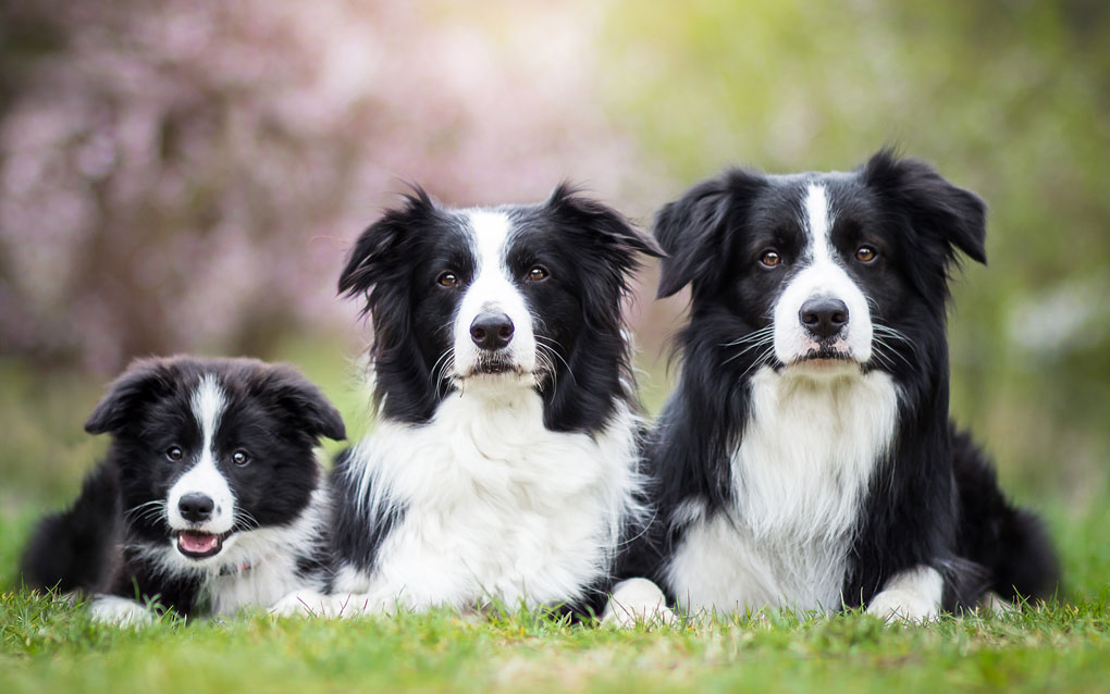 Border Collies gallery image