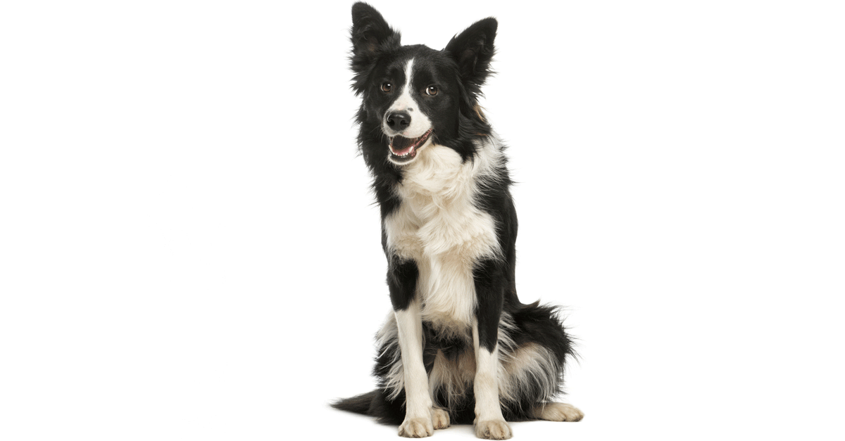 Dogs Border Collie - main image