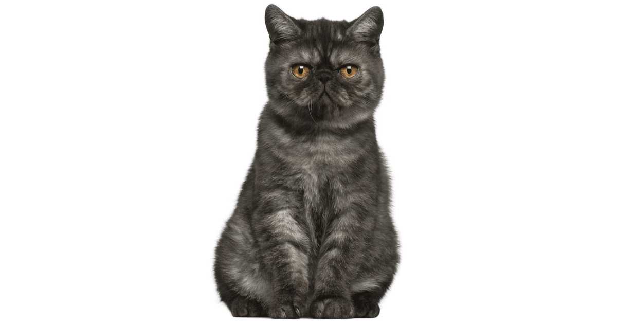 Exotic Shorthair gallery image